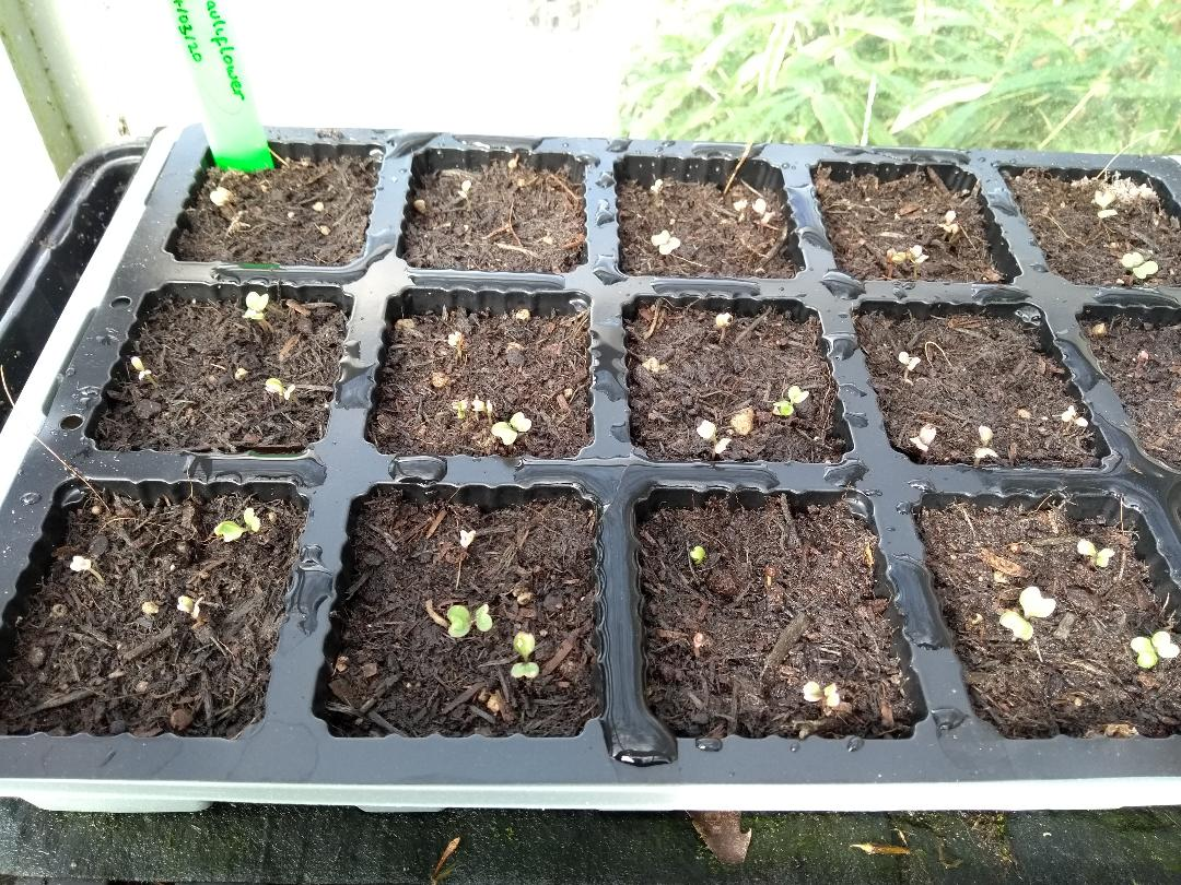 broccoli sprouting